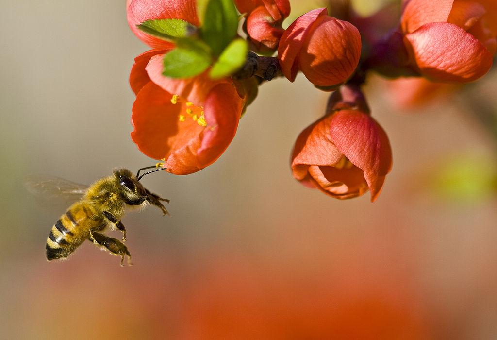 Spring Honey Bee